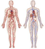 Schéma des réseaux artériel et veineux