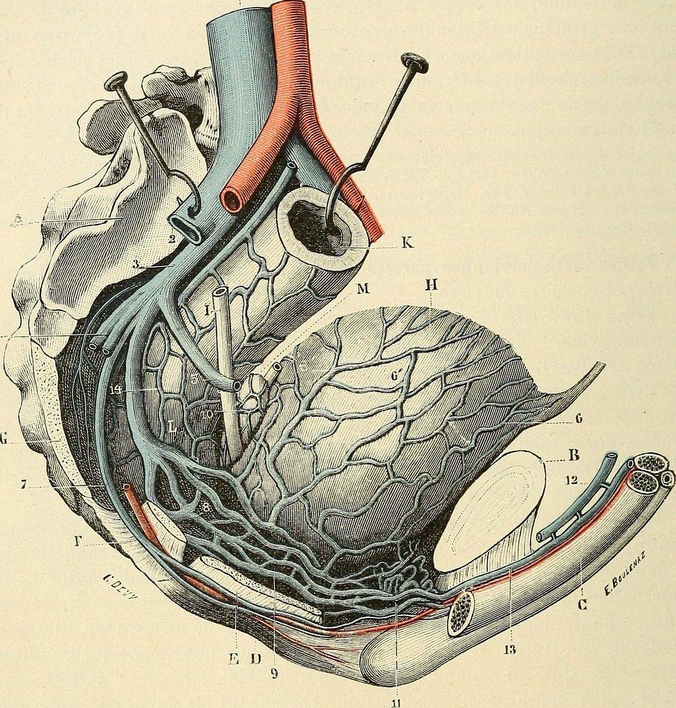 Schéma des plexus veineux qui entourent la vessie